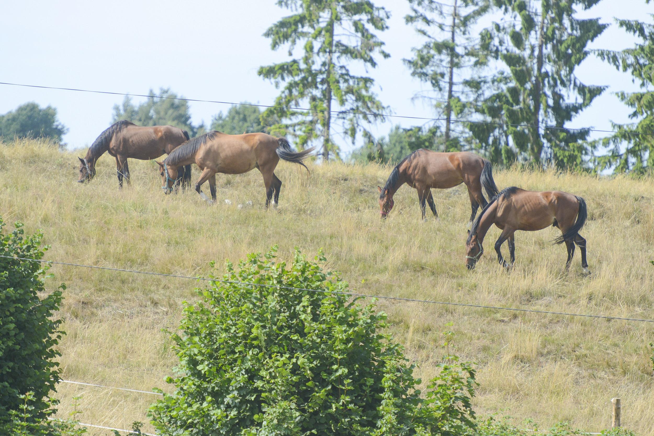 Całodobowe pastwiska dla koni 24h